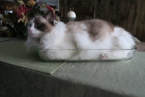 Bandit - Ragdoll of the Week Seal Bicolor 2