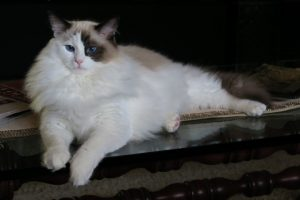 Bandit - Ragdoll of the Week Seal Bicolor