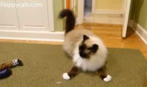 Ragdoll Cats Receive Kitty Hooch Cat Catnip Toys