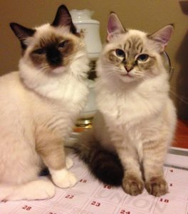 Schumann and Sky ragdoll of the week 2014-05-28 (3)
