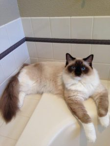 Schumann and Sky ragdoll of the week 2014-09-13 (3)