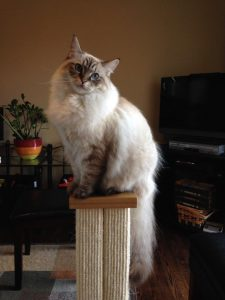 Schumann and Sky ragdoll of the week 2014-09-25 (1)