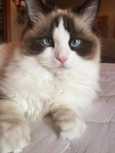 Ash and Addie Ragdoll Cat Rehoming Story 2