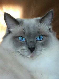 Ash and Addie Ragdoll Cat Rehoming Story 4