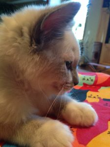 Ash and Addie Ragdoll Cat Rehoming Story 6
