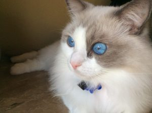 Safety Turtle Pool Alarm Saves Ragdoll Cat from Drowning