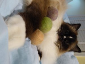 Alpaca Cat Balls with Catnip from Sugarboys on Etsy with Ragdoll Cat Charlie