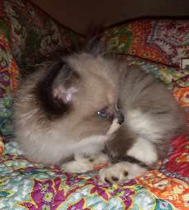 Apollo - Ragdoll Kitten of the Month 4