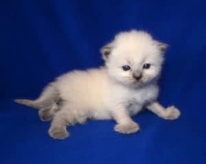 Jeter - Ragdoll Kitten of the Month 3 Weeks
