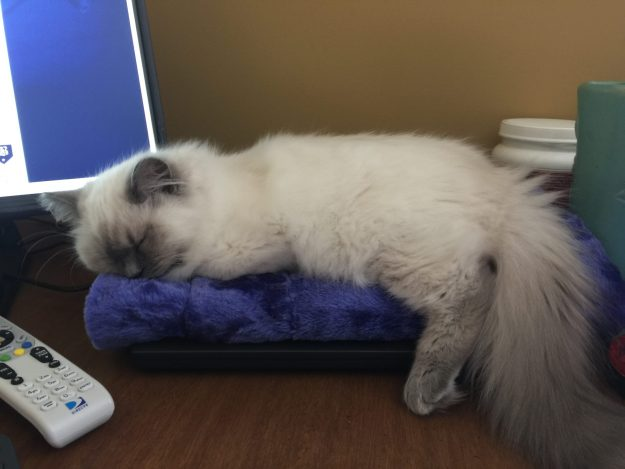 Jeter - Ragdoll Kitten of the Month Monitor1