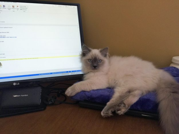Jeter - Ragdoll Kitten of the Month Monitor2