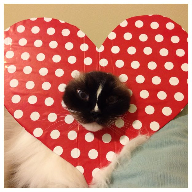 Ragdoll Cat Charlie Valentine Heart