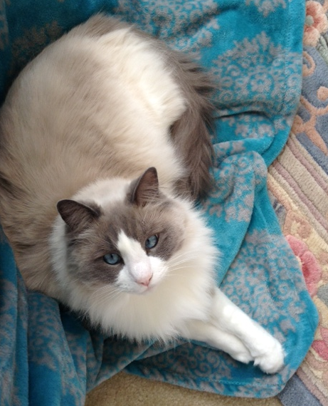 Star - Ragdoll of the Week