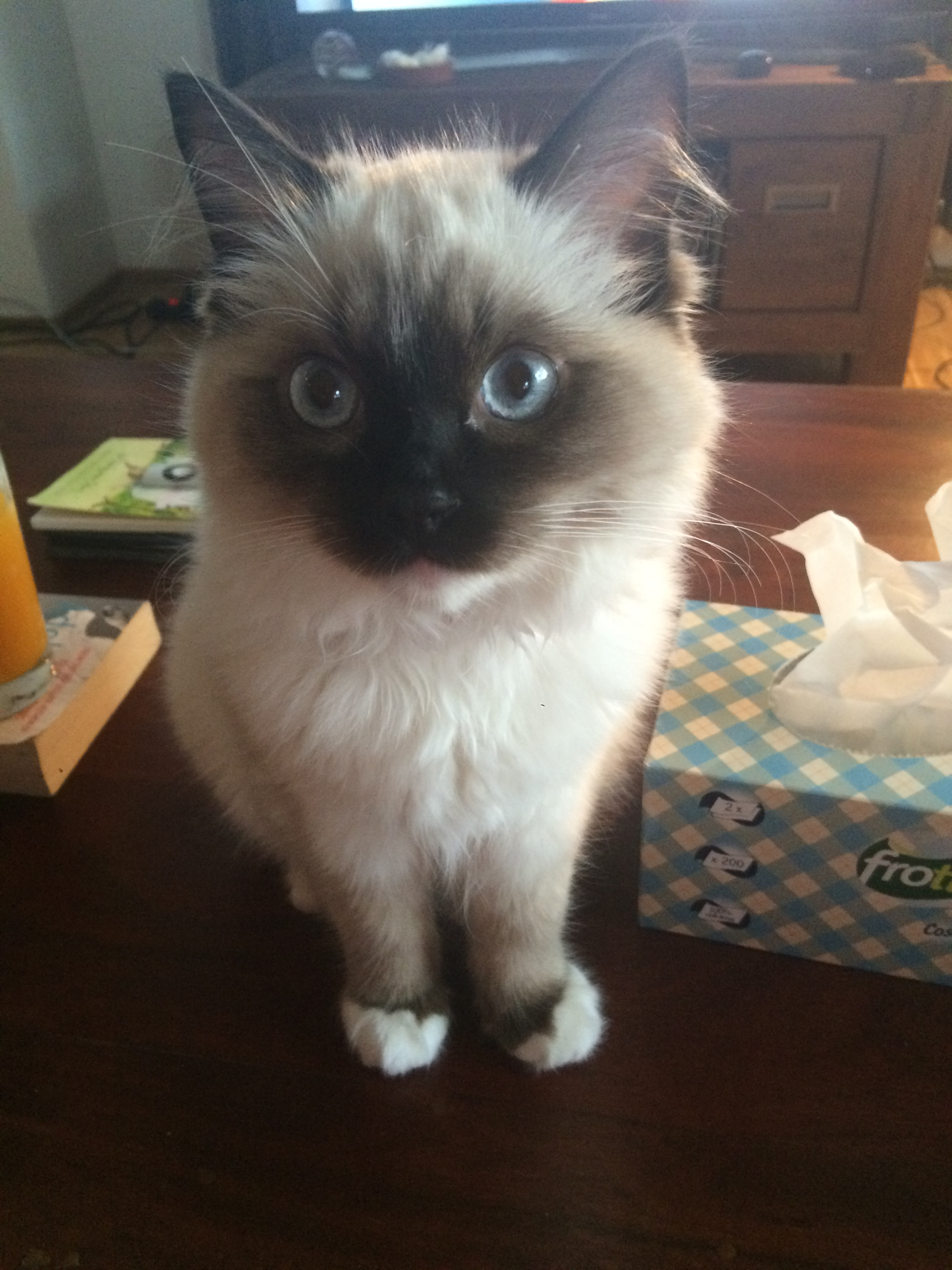 Tallulah Ragdoll Kitten of the Month