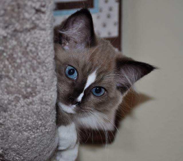 Denali - Ragdoll of the Week