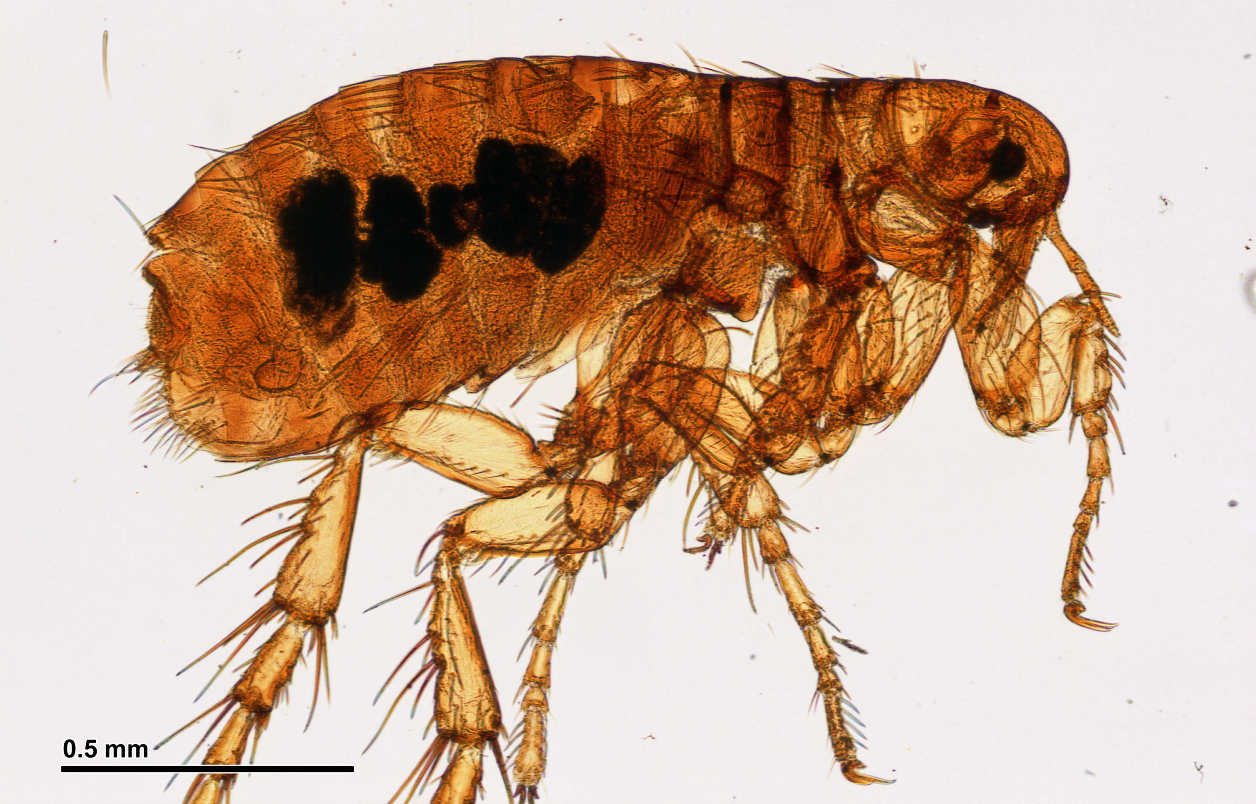 Fleas in the apartment. Begin the pest control 15
