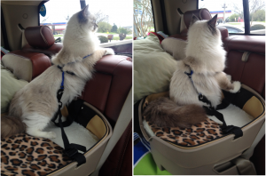 Traveling with a Ragdoll Cat by Car Rocket