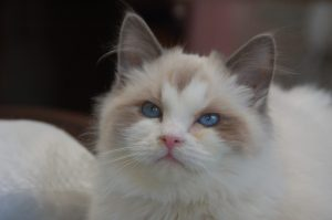 Arctic Blue Ragdolls Nicolai - Ragdoll of the Week