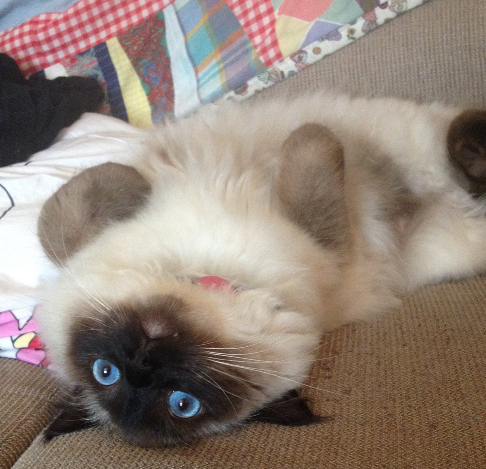Moomin - Ragdoll of the Week 8