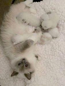 Willetteragdol Ragdoll Breeder in Massachusetts JeTaime and her babies