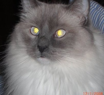 Elmo - Ragdoll of the Week