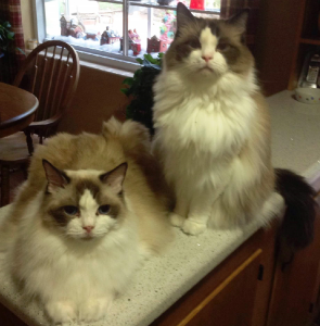Pebbles and Spencer - Ragdolls of the Week 1