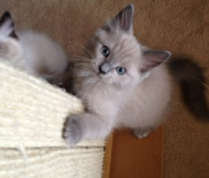 Shadow - Ragdoll Cat of the Week 7