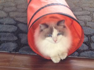 Widget - Ragdoll of the Week