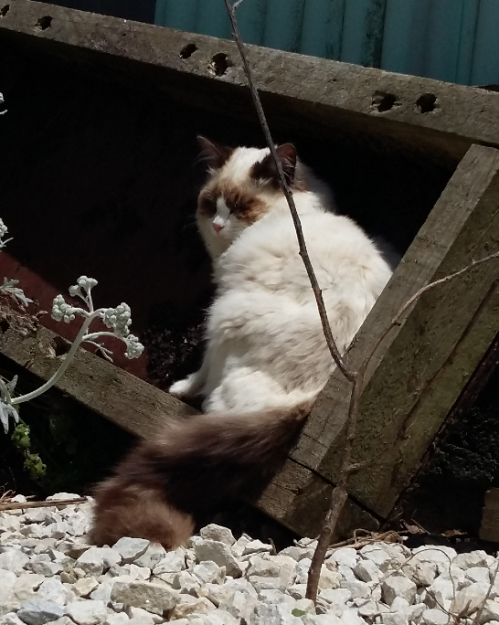 Kenzie - Ragdoll of the Week