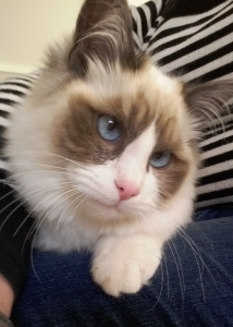 Kenzie - Ragdoll of the Week 8