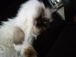 Savannah - Ragdoll of the Week