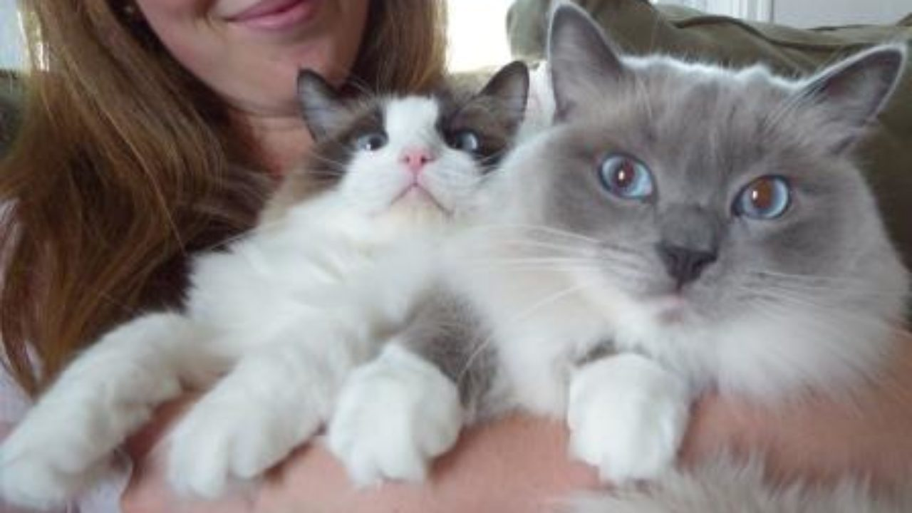 What To Know When Buying a Ragdoll Cat | How To Buy a Ragdoll Cat