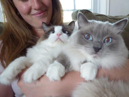 How Much Do Ragdoll Cats Cost?
