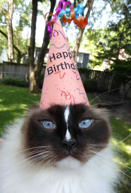 Charlie 7 Birthday Ragdoll Cat July 23 2016