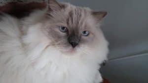 George - Ragdoll Cat of the Week 5