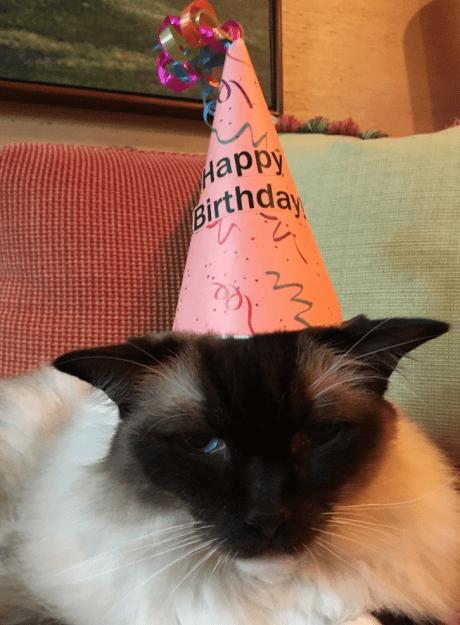 Caymus Birthday 2016 12 year old Ragdoll Cat 6
