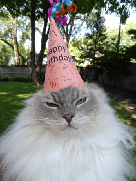 Ragdoll Cat Trigg Turns 7 Years Old 2