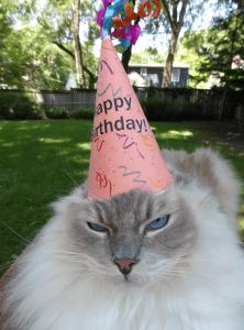Ragdoll Cat Trigg Turns 7 Years Old 3