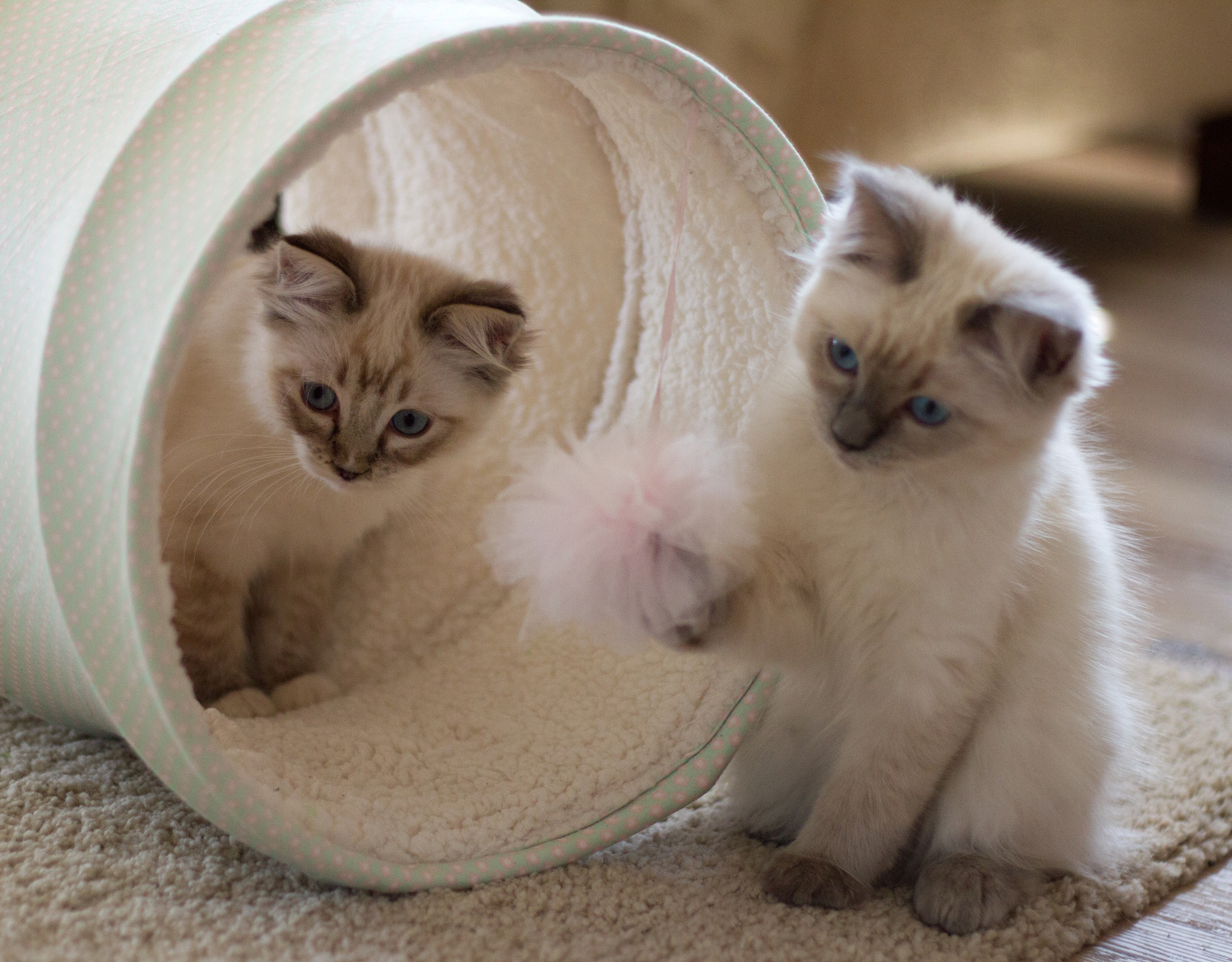 Miss Lilly and Maddison Ragdoll Kittens of the Month