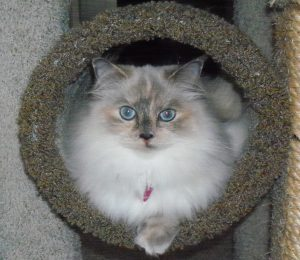 KitTen or Calina the Blue Torti Ragdoll