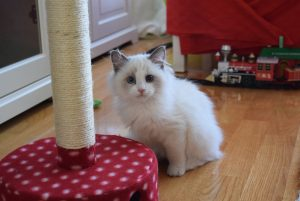 Jeremy - Ragdoll of the Week
