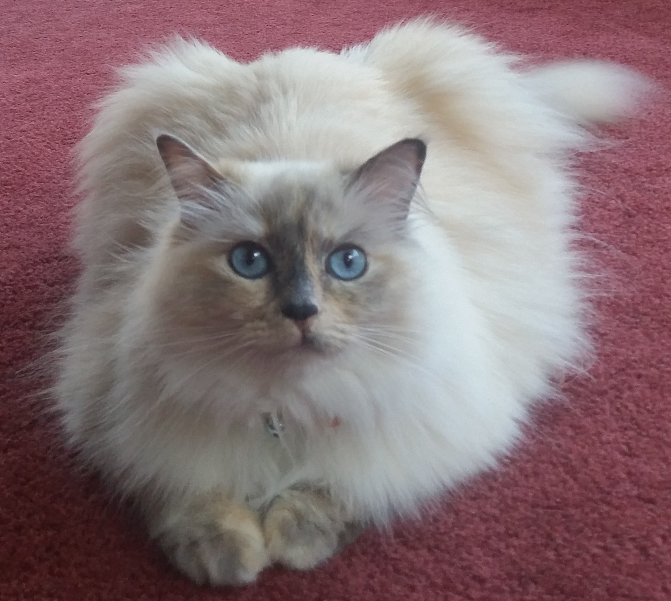 KitTen Ragdoll of the Week