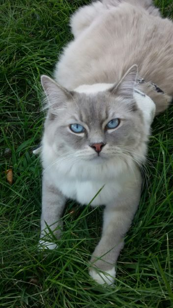 Mr. Blue - Ragdoll of the Week