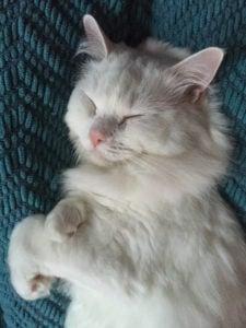 cuddles-ragdoll-of-the-week-snuggles