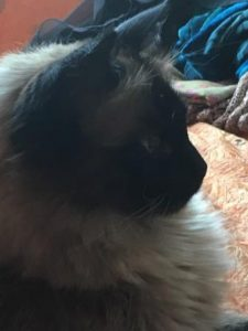 Duke - A 6-Year Old Seal Point Ragdoll Cat