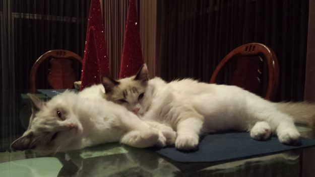 dusty-and-dolly-ragdolls-of-the-week-20141204_183653
