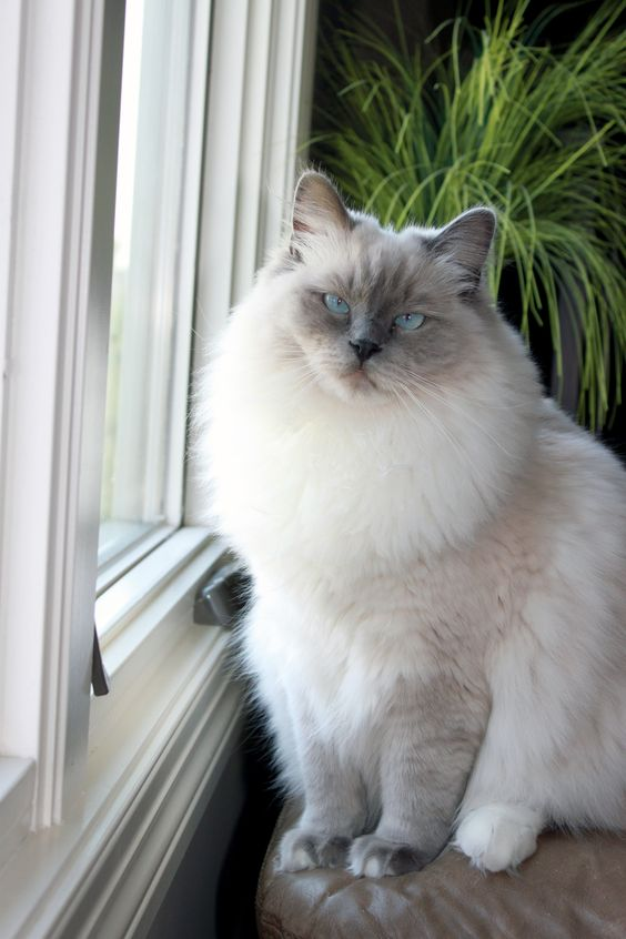 Gracie - Ragdoll of the Week