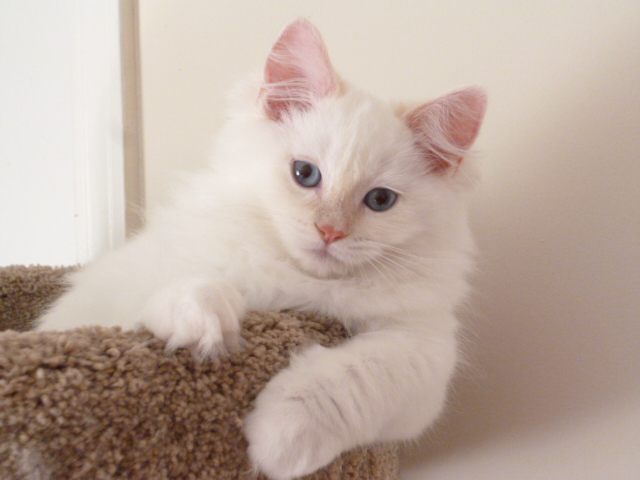misha-ragdoll-kitten-of-the-month-p1020495