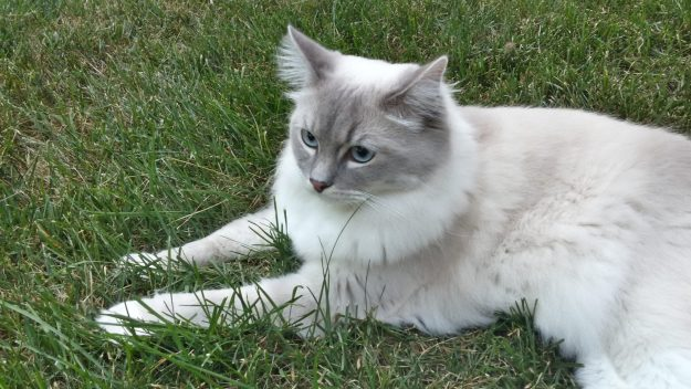 mr-blue-ragdoll-of-the-week-2