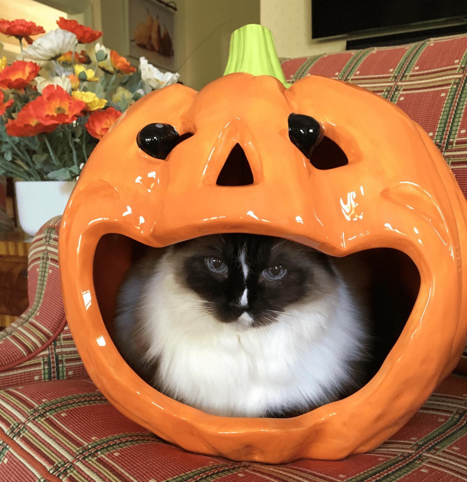ragdoll-cat-murphy-halloween-2016